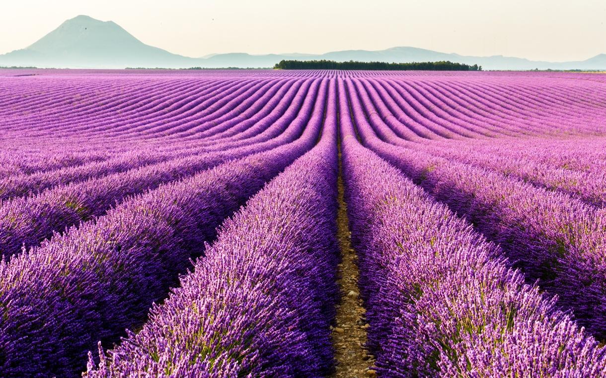 violet fields.jpg